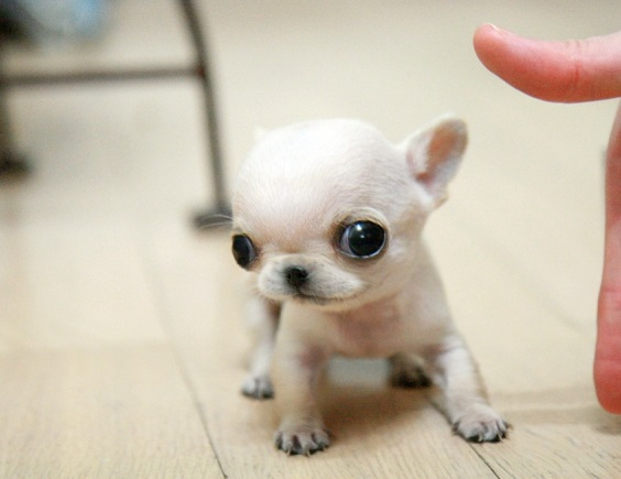 11074i_-cute-tinny-apple-head-chihuahua-puppies_1