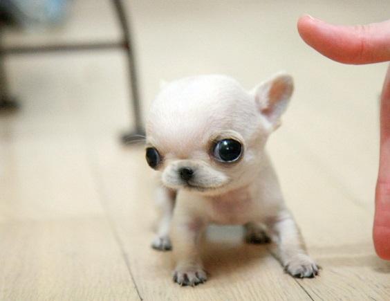 11074i_-cute-tinny-apple-head-chihuahua-puppies_1