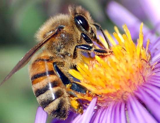european-honey-bee